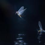 Idén augusztus elejétől szeptember 5-ig, tizennégy estén figyeltük a törékeny rovarok repülését. A tavalyi évtől eltérően ezen a nyáron kisebb és rövidebb, ugyanakkor szépséges rajzásokat láthattunk a Dunán és az Ipolyon. Legtöbbször alig tartott fél órán