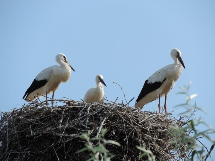 Egy öt évvel korábbi kép a gólyacsaládról (Fotó: Karlné Menráth Réka)