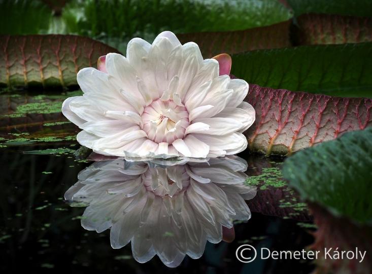 Két éjszakán át nyílnak feltűnő virágai a hatalmas amazonasi tündérrózsának (Victoria cruziana)