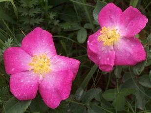 Parlagi rózsa (Fotó: Vidra Tamás)