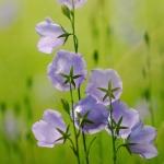 Harangvirág (fotó: H. Kolláth Mária)