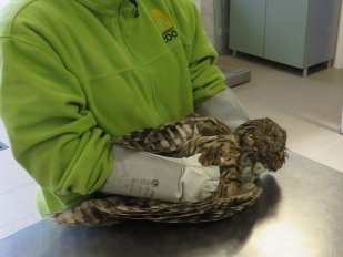 Az bagoly kezelése a Budapesti Állatkert mentőhelyén (Fotó: Németh András)