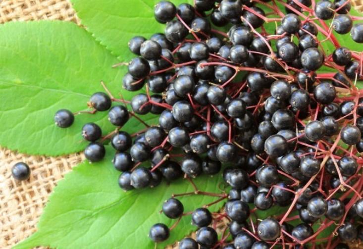 Fekete bodza bogyója (Forrás: nosalty.hu)