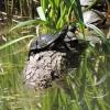 A Bajdázói-tó mocsári teknősei (Fotó: Karlné Menráth Réka)