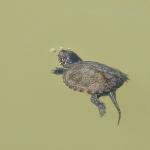 Mocsári teknősfióka (Emys orbicularis) első útja kikelés után a vízbe vezet. Fotó: Polgár Márta