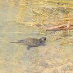 Mocsári teknősfióka (Emys orbicularis) Fotó: Polgár Márta