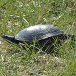 Mocsári teknős (Emys orbicularis) egyetlen őshonos vadon élő teknősfajunk.  Fotó: Polgár Márta