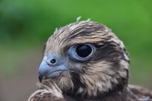 A kerecsensólyom fióka (Falco cherrug) egy költőláda biztonságában fejlődik (Fotó: Berkó Gyöngyi)