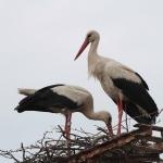 A gólyák veszélyes villanyoszlopra helyezték első fészküket Száron. (Fotó: Klébert Antal)