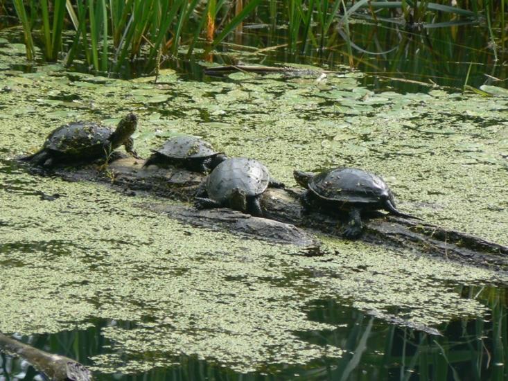 Napozó mocsári teknősök a Bajdázói-tavon (Fotó: Királyrét archívum)