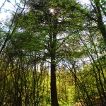 A Libanoni Cédrus a Csaplári-erdőben (fotó: H. Kolláth Mária)