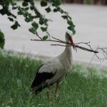 Az út mellett fészekanyagot gyűjtő  fehér gólya (Ciconia ciconia). Vigyázzunk rájuk, lassítsunk, ha látjuk őket!!! (Fotó: Klébert Antal)