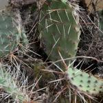 Fügekaktusz (Opuntia phaeacantha) veszélyes inváziós faj (Fotó: Berkó Gyöngyi)