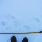 Farkasnyomok a hóban (Fotó: Darányi László)