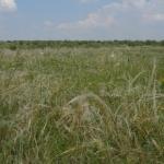 Fajgazdag árvalányhajas gyep a Tétényi-fennsíkon (Fotó: Novák Adrián)