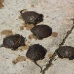 Napozó mocsári teknősfiókák. Fotó: Polgár Márta
