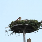A tojó rászállt az új fészekre (Fotó: Klébert Antal)