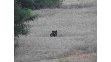 Medves Isaszeg mellett 2021.07.22