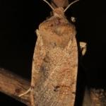 Veronika-őszibagoly (Consitra veronicae)  A meleg középhegységi molyhostölgyesek tipikus, nem gyakori lepkéje, az Alföldről szinte teljesen hiányzik. (Fotó: Szabadfafi András)