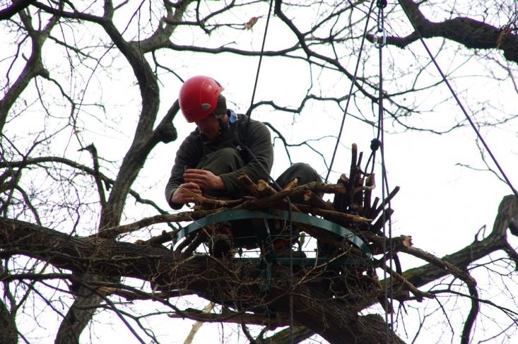 Fekete gólya fészek kihelyezés