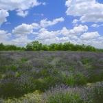 Levendula ültetvény Nagytarcsán