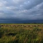 Birkanyáj a farmosi Bivalyos-szigeten