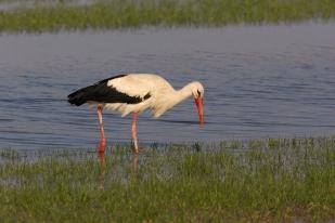 Fehér gólya (fotó: Sz. Gy.)