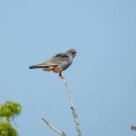 Kék vércse  (Falco vespertinus) Fotó: Polgár Márta