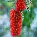 Az Ausztrál-ház ékessége, a citromillatú kefevirág (Callistemon citrinus)