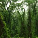 Égig érő fák liánszoknyában (Fotó: Novák Adrián)