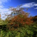 Somlyó - galagonya ősszel