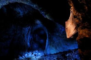Kis patkósdenevér a Börzsönyben (Fotó: Potyó Imre)