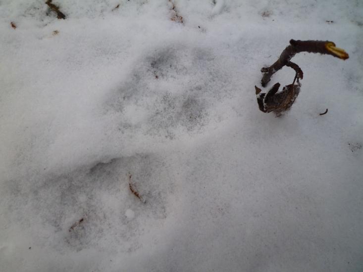 Farkasnyomok a Börzsönyben 2021.01.13 (Fotó: Major Borbála)