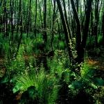 Égeres mocsárerdő a Hajta-patak Kókai-ágán
