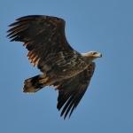 A szigetek egyik fokozottan védett madara a rétisas (Fotó: Selmeczi Kovács Ádám)