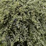 Öreg körtefa virágba borulva (Fotó: Berkó Gyöngyi)
