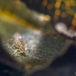 Hosszúcsápú ugróvillás rejtőzik a levelek között (Fotó: Potyó Imre)