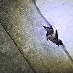 A barna hosszúfülű-denevér (Plecotus auritus) Óriási fülét pihenésnél és teleléskor szárnya alá húzza. (Fotó: Klébert Antal)