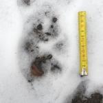 Farkas lábnyom a Börzsönyben 2020 februárjában (Fotó: Bedő Péter / Börzsöny Alapítvány)