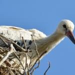 Fehér gólya (Ciconia ciconia) fióka vagyok, fokozottan védett! (Fotó: Berkó Gyöngyi)