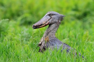 Papucscsőrű gólya (Balaeniceps rex) a túra egyik célfaja, a papirusz mocsarakban vadászik, akár 2-3 kg-os halakat is képes elnyelni (Fotó: Klébert Antal)