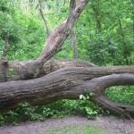 Holtfa-mászóka (Fotó: Nagy István)