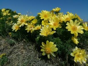 Tavaszi héricsek újszilvás mellett (Fotó: Vidra Tamás)