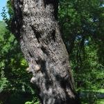 Hatalmas fává nőtt a több, mint két évszázadot megélt sajmeggy (Prunus mahaleb