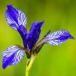 Védett  szibériai nőszirom (Iris sibirica) (Fotó: Berkó Gyöngyi)