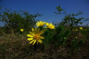 Tavaszi hérics (Fotó: Novák Adrián)