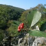 Szillevelű berkenye a Fáni-völgyben (Fotó: Halász Antal)