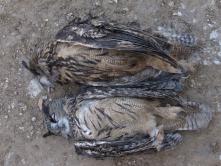 Rágcsálóirtószer miatt elpusztult uhu pár (Fotó: Novák Adrián)