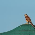 Az ürgékre leselkedő ragadozók egyike, a vörös vércse (Falco tinnunculus) (Fotó: Klébert Antal)