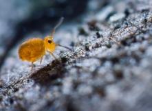 Gömböcugróka (Fotó: Potyó Imre)